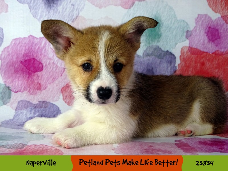 Pembroke Welsh Corgi-Male-Sable and White-2884489-Petland Naperville