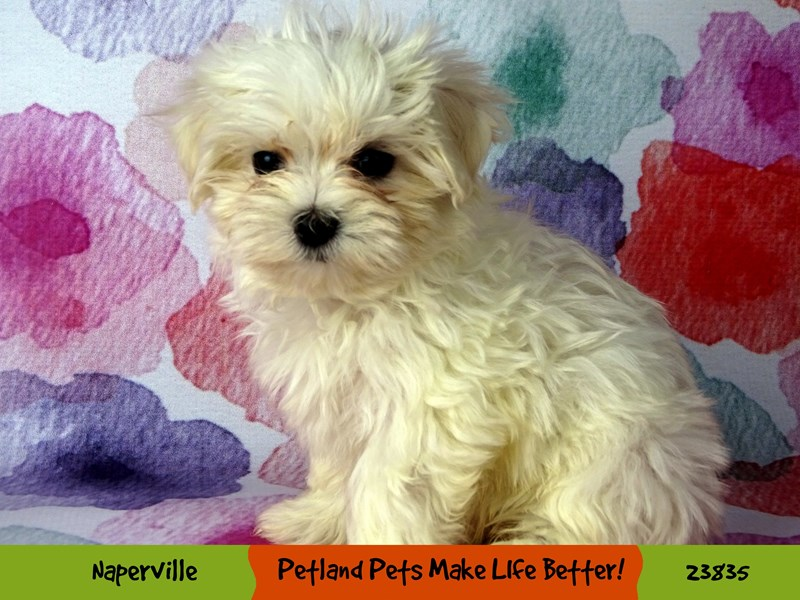 Maltese-Female-White-2884374-Petland Naperville