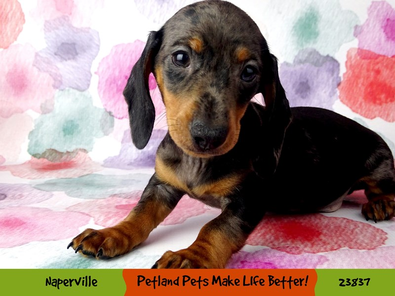 Dachshund-Male-Blue-2884411-Petland Naperville