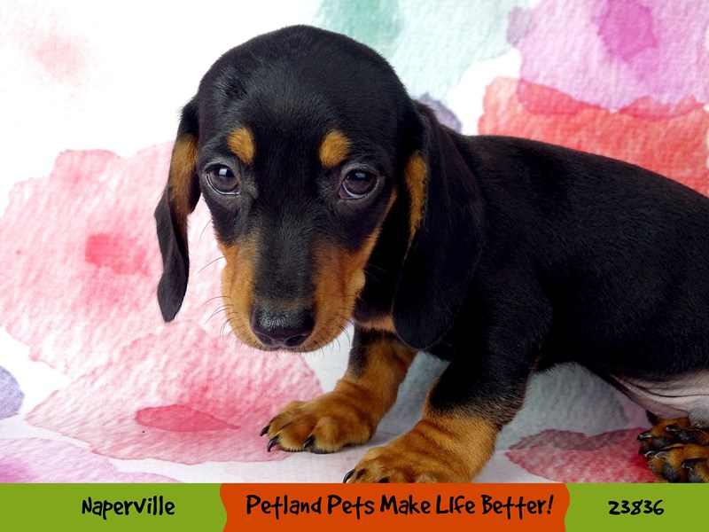 Dachshund-Male-Black / Tan-2884412-Petland Aurora