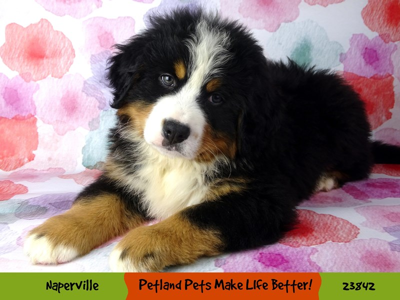 Bernese Mountain Dog-Male-Black Rust / White-2884386-Petland Naperville