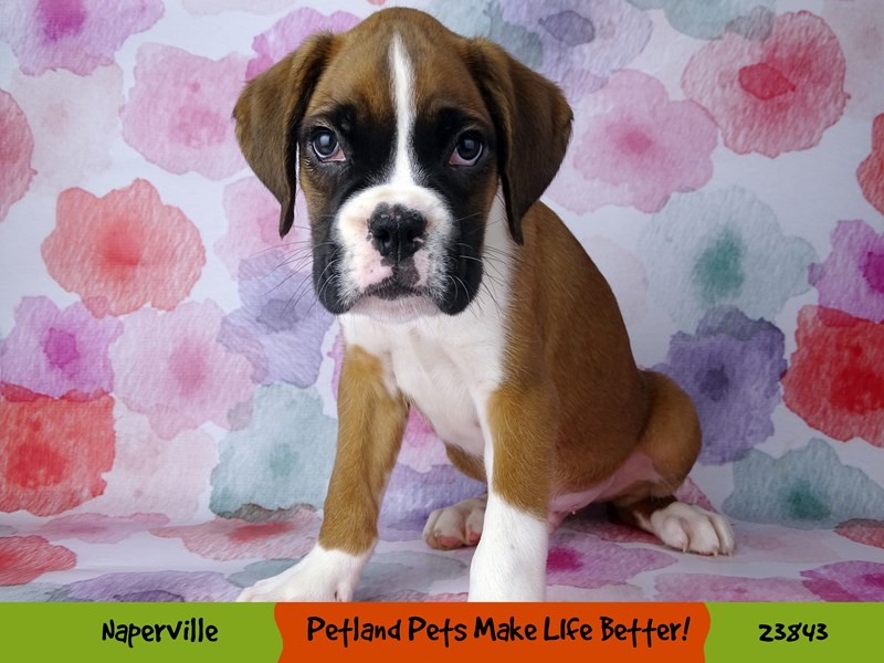 Boxer-Male-Fawn / White-2884384-Petland Aurora