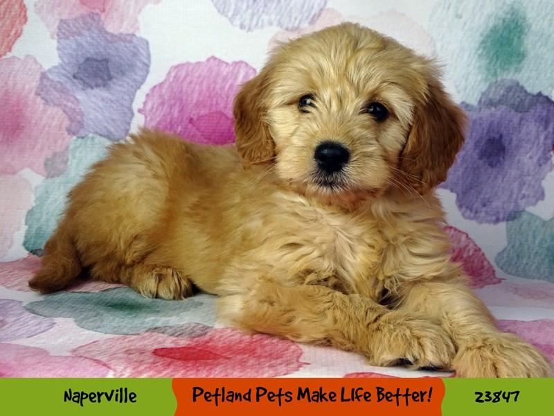 Poodle Mini/Golden Retriever-Female-Dark Golden-2884370-Petland Naperville