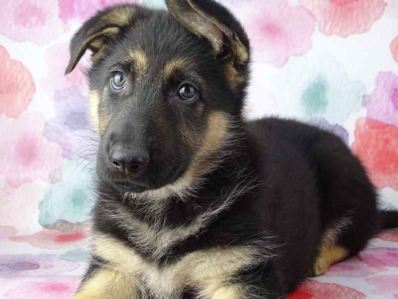 German Shepherd Dog-Male-Black / Tan-2884382-Petland Naperville