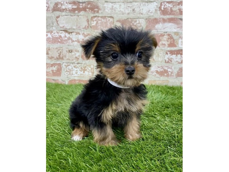 Yorkshire Terrier-Female-Black / Tan-2885939-Petland Naperville