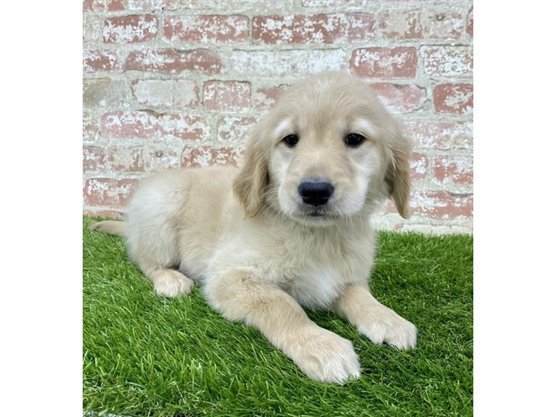 Golden Retriever-Female-Golden-2885944-Petland Naperville