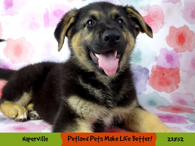 German Shepherd Dog-Male-Black / Tan-2885945-Petland Naperville
