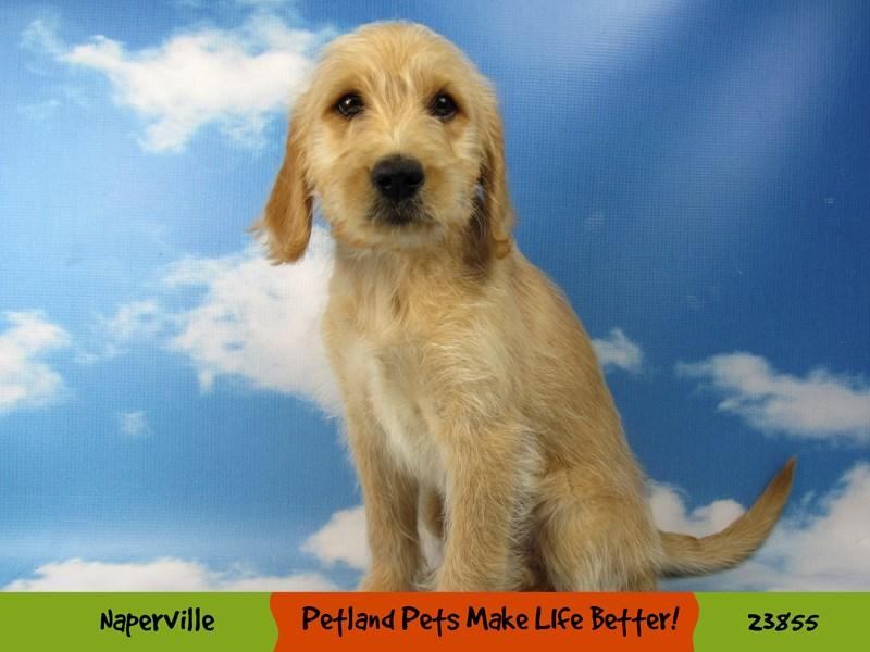 Labradoodle-DOG-Female-Yellow-2848367-Petland Naperville