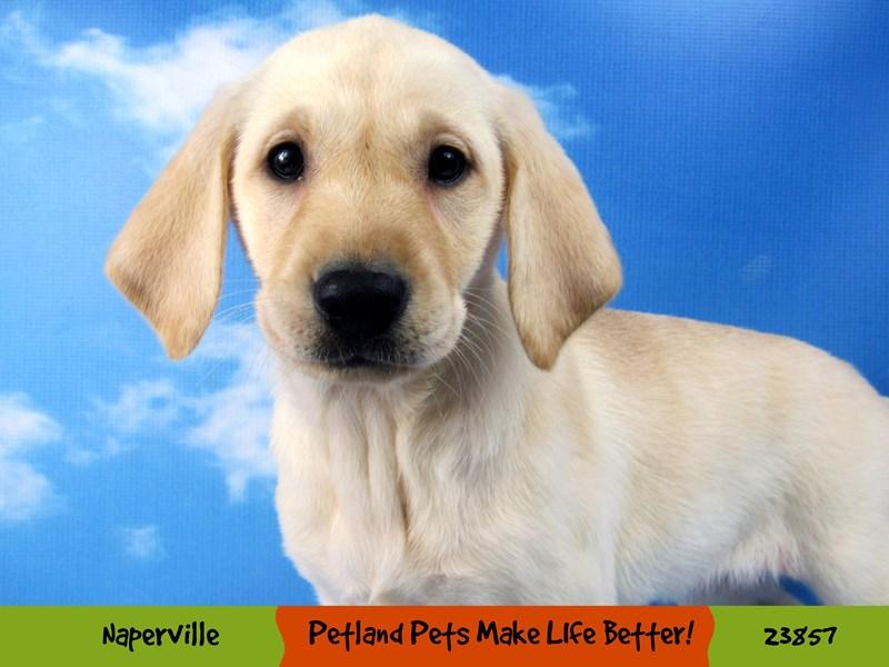 Labrador Retriever-DOG-Female-Yellow-2840972-Petland Naperville