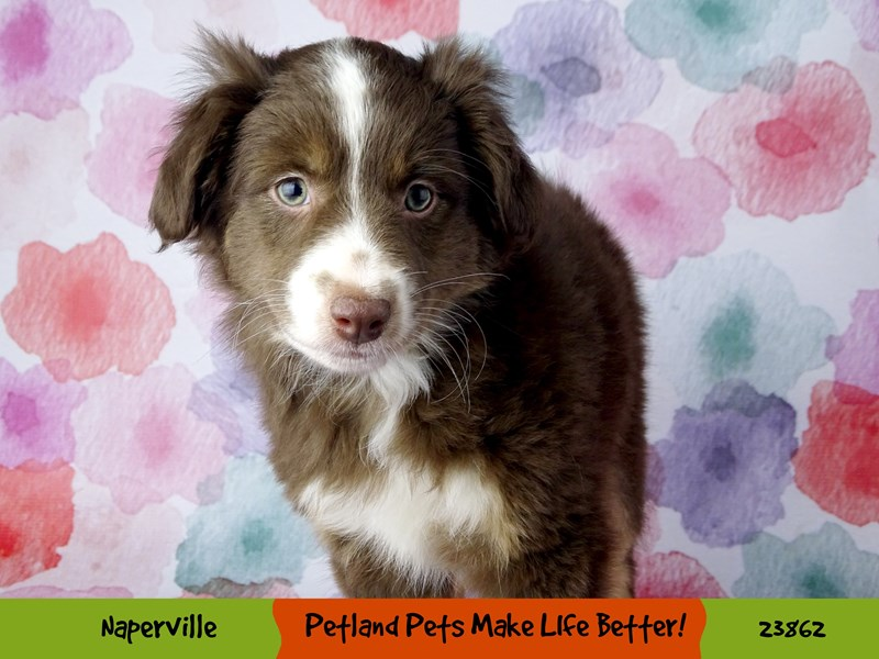 Miniature American Shepherd-DOG-Female--2891000-Petland Naperville