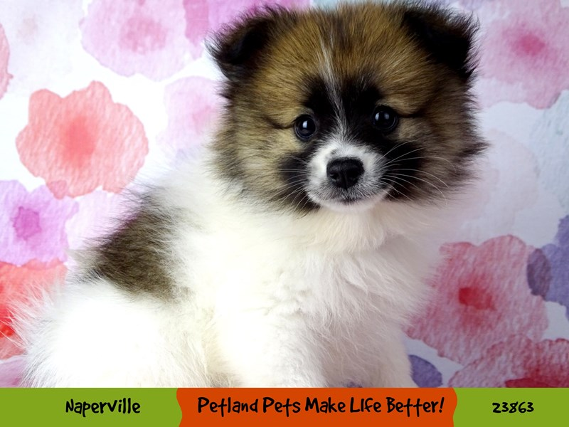 Pomeranian-Male-Brown / White-2890997-Petland Naperville