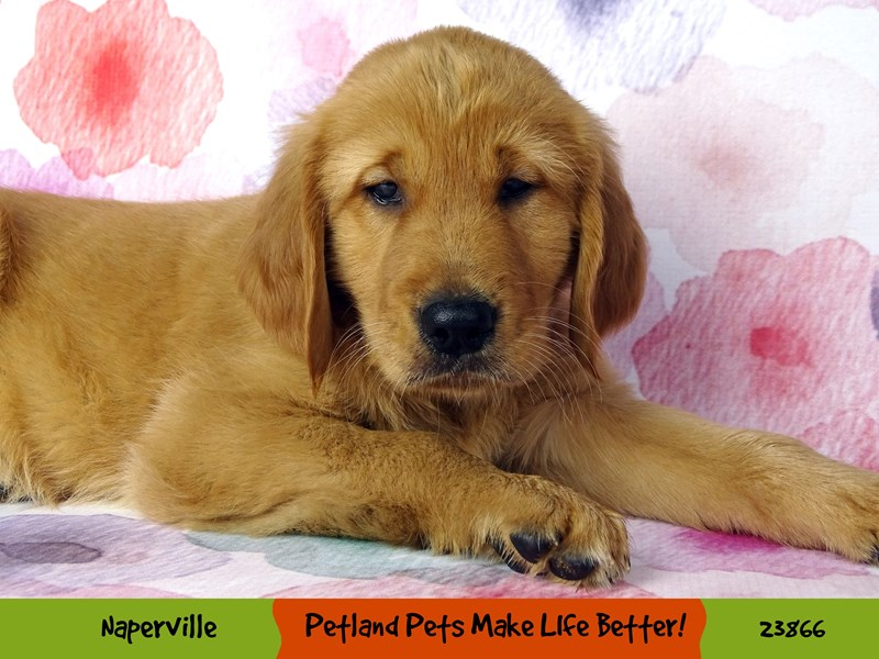 Golden Retriever-Male-Golden-2891019-Petland Naperville