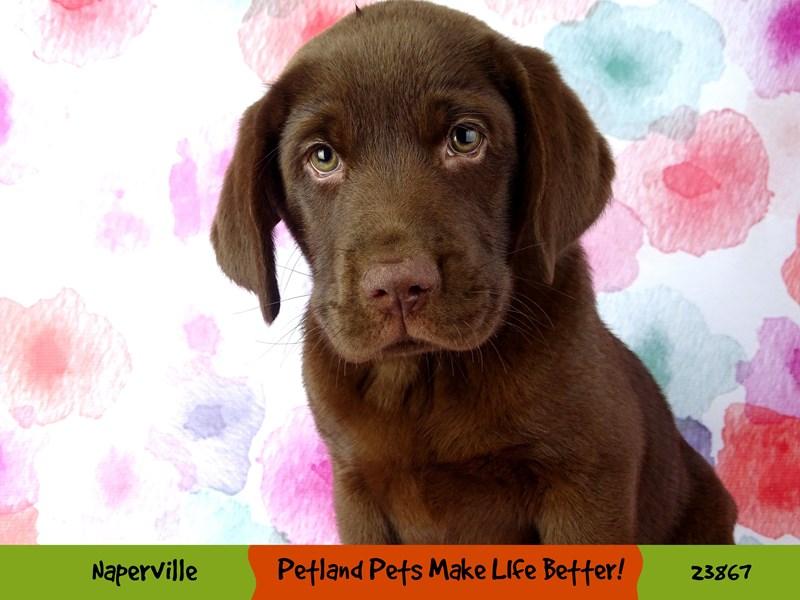 Labrador Retriever-Female-Chocolate-2891033-Petland Naperville