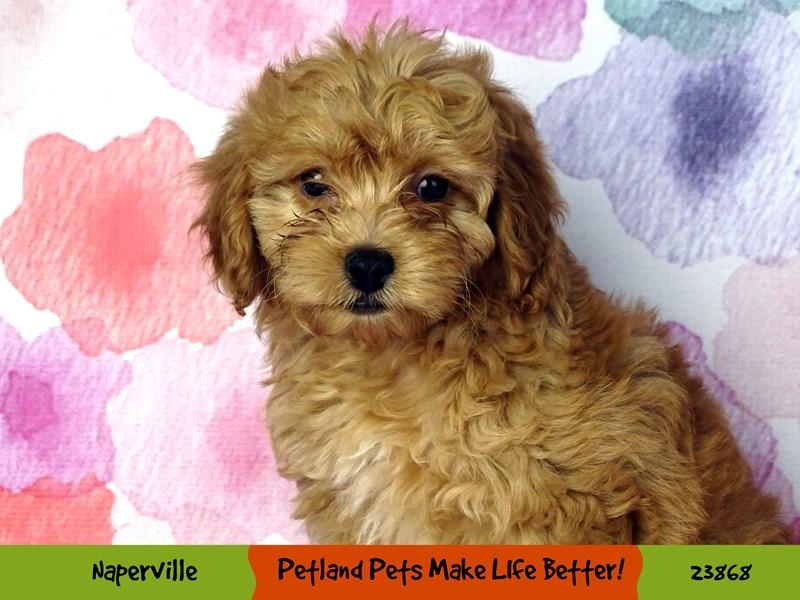 2nd Generation Mini Goldendoodle-DOG-Female-Apricot-2891050-Petland Naperville