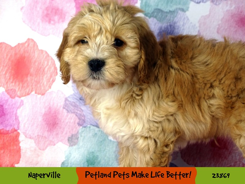 2nd Generation Mini Goldendoodle-DOG-Male-Apricot-2891052-Petland Naperville