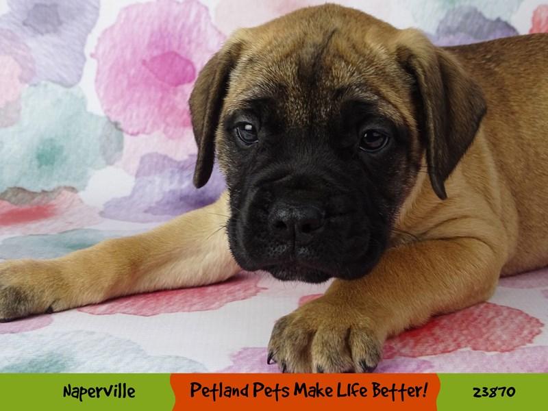 Bull Mastiff-DOG-Female-Fawn w/ Black Mask-2891056-Petland Naperville