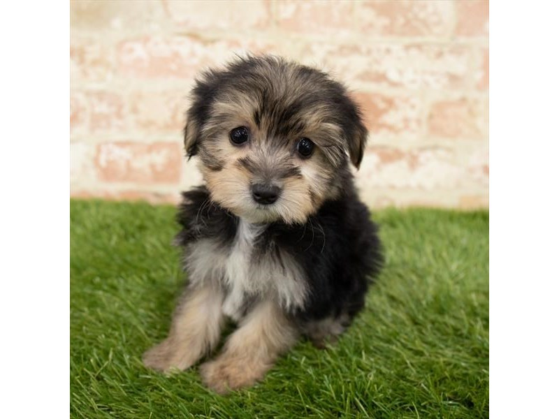 Morkie-Female-Black / Tan-2892943-Petland Aurora