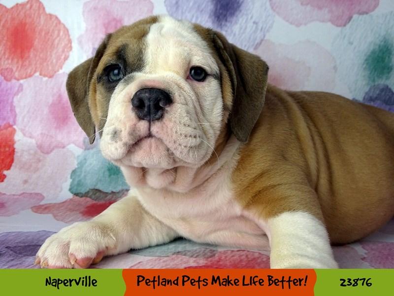 Victorian Bulldoge-Male-Lilac / White-2898031-Petland Naperville