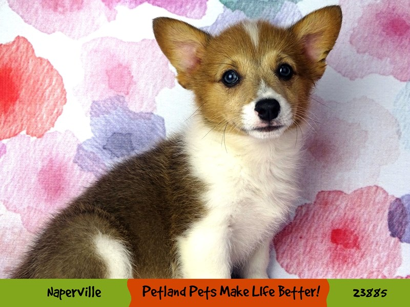 Pembroke Welsh Corgi-Male-Sable and white-2898410-Petland Naperville