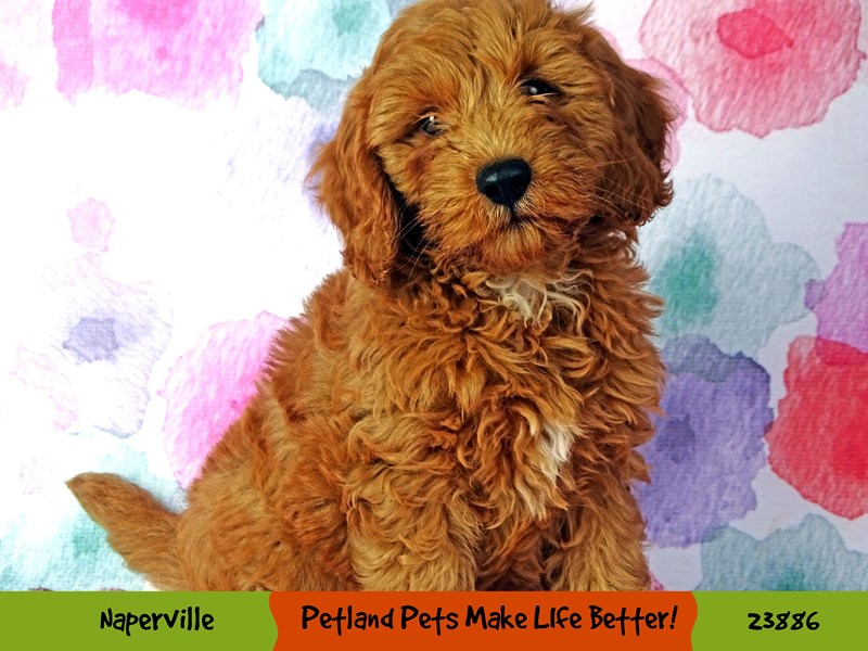 F1B Mini Goldendoodle-DOG-Male-Apricot-2898425-Petland Naperville