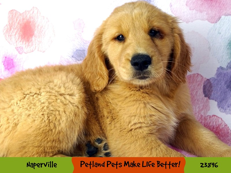 Golden Retriever-Male-Golden-2905867-Petland Naperville