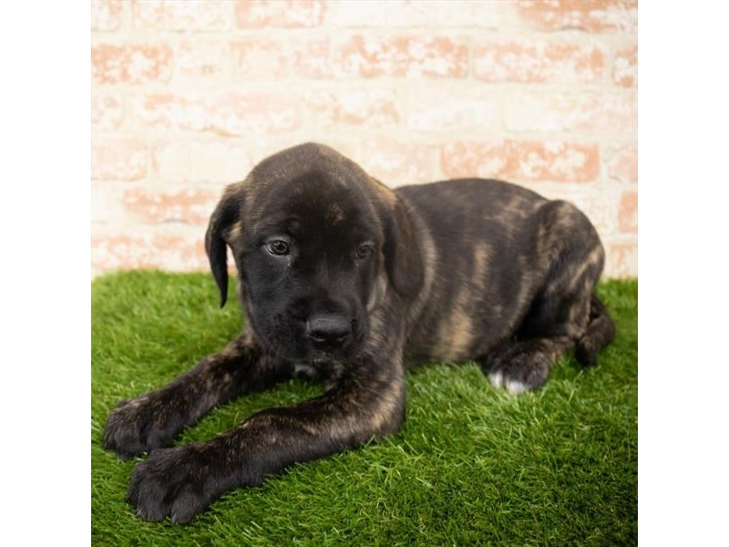 English Mastiff-DOG-Male-Brindle-2907204-Petland Naperville