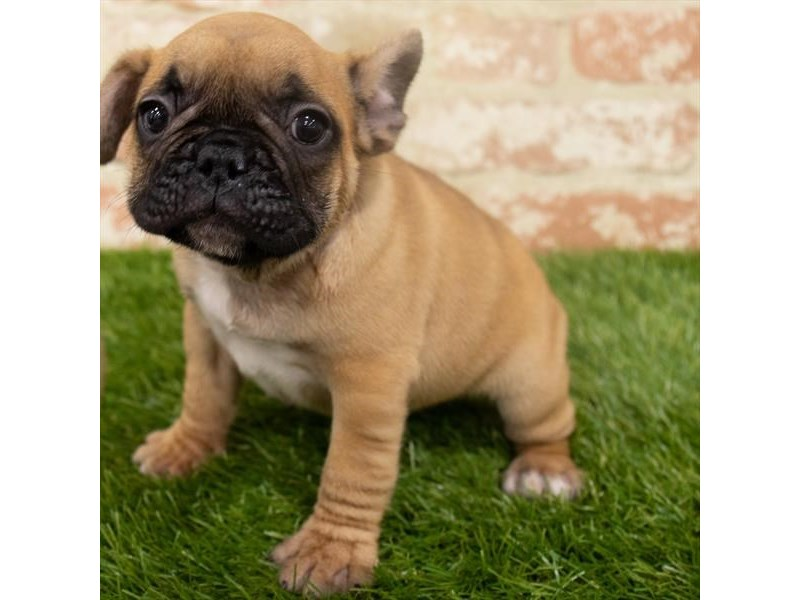 French Bulldog-DOG-Female-Fawn-2907205-Petland Naperville