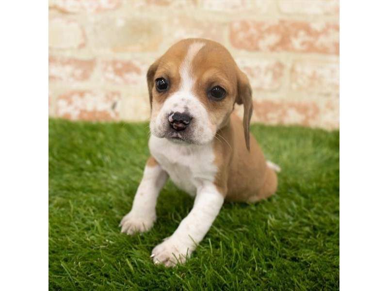 Beagle-Female-Red / White-2907207-Petland Aurora