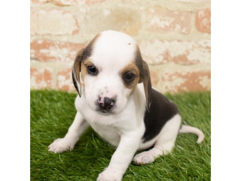 Beagle-Male-Black White / Tan-2907209-Petland Aurora