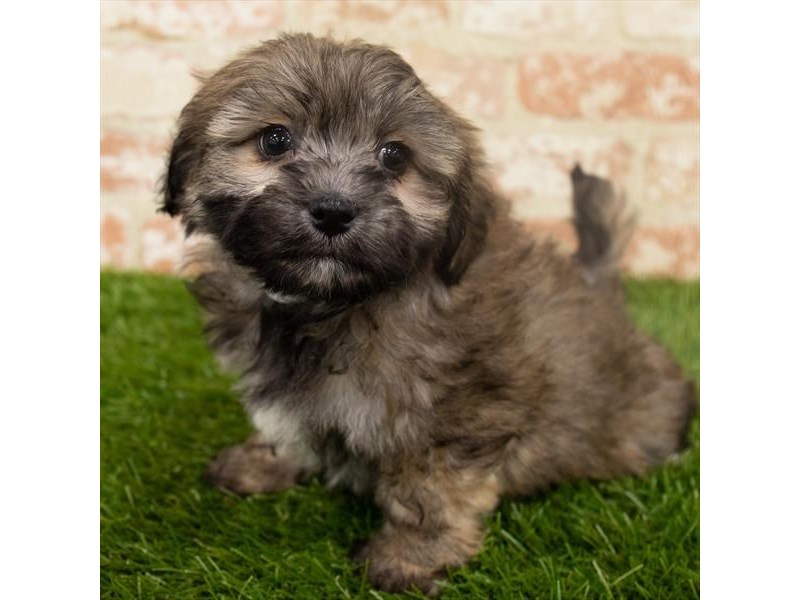 Teddy Bear-Male-Gold-2907210-Petland Naperville