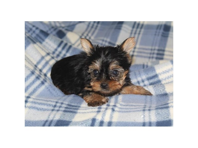 Yorkshire Terrier-Female-Black / Tan-2913577-Petland Naperville
