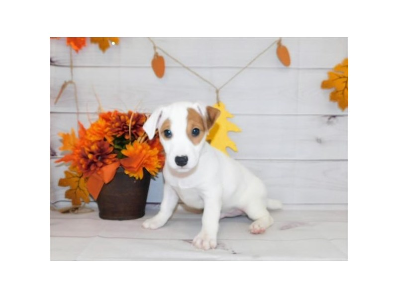 Jack Russell Terrier-Male-Red / White-2863423-Petland Aurora