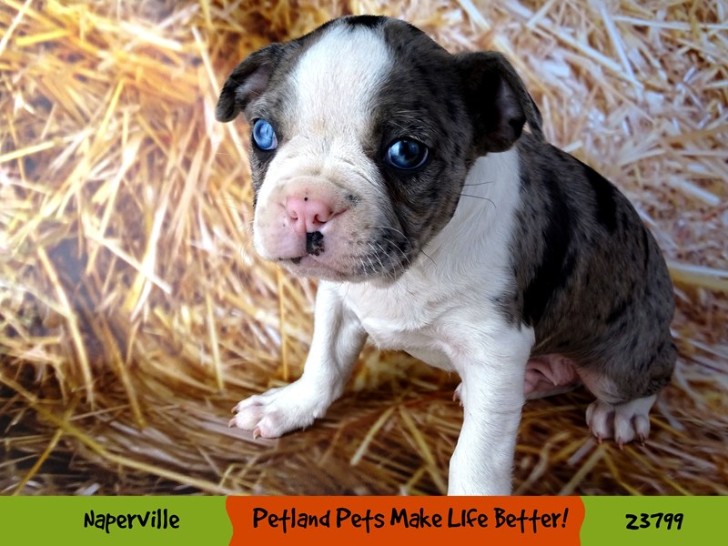 Boston Terrier-Male-Blue Merle-2870919-Petland Aurora