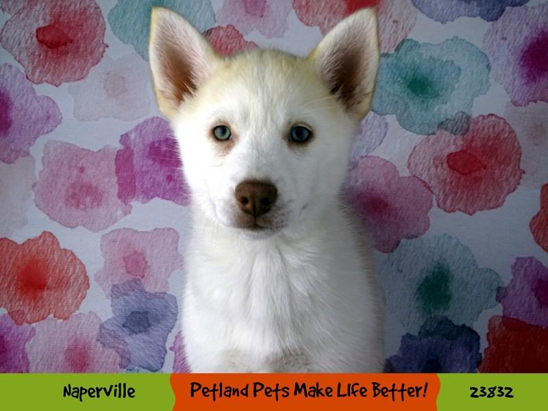 Pomsky-Female-Cream and White-2884452-Petland Aurora