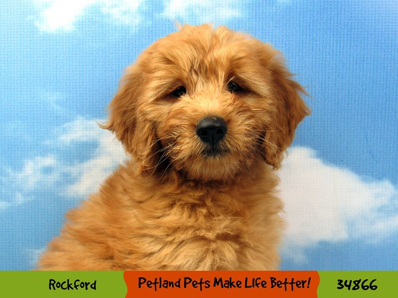 Mini Goldendoodle-Female-Apricot-2890984-Petland Aurora