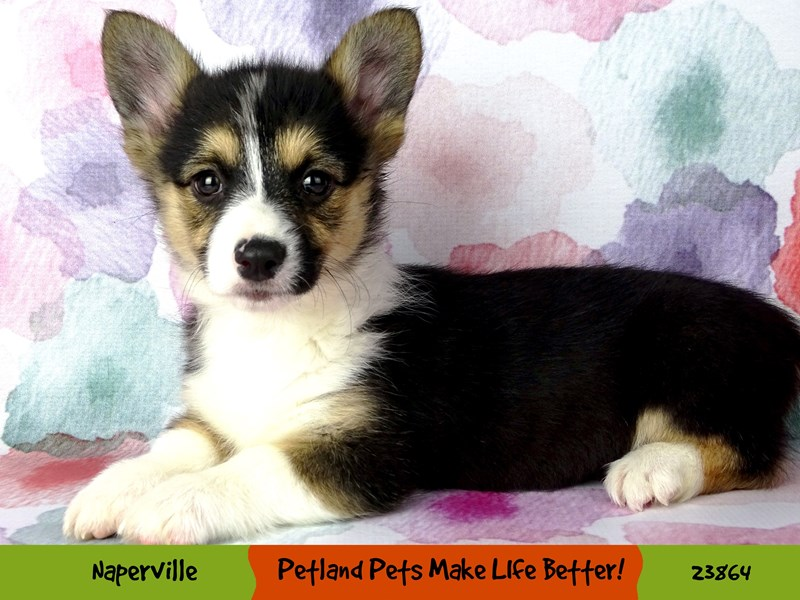 Pembroke Welsh Corgi-Female-Black White / Tan-2890993-Petland Aurora