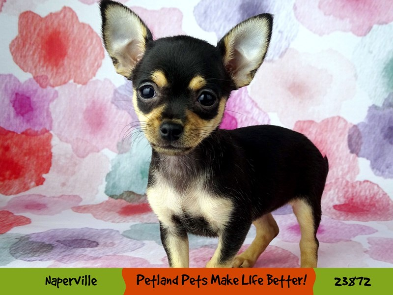 Chihuahua-Female-Black / Tan-2892923-Petland Aurora
