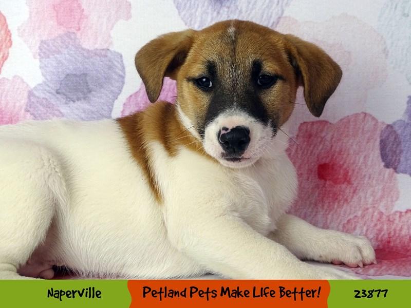 Jack Russell Terrier-Male-White / Brown-2898026-Petland Aurora