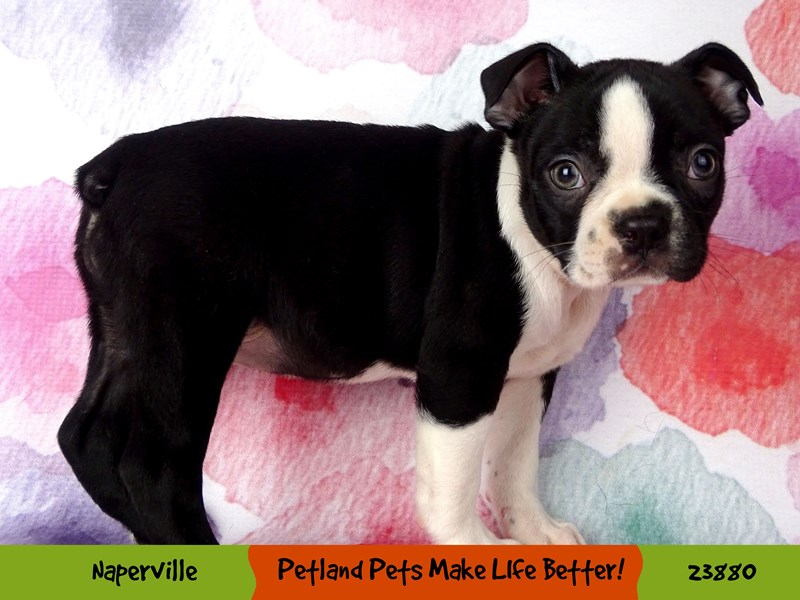Boston Terrier-Female-Black / White-2898027-Petland Aurora