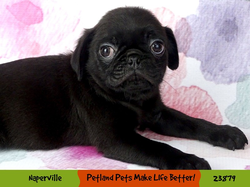 Pug-Male-Black-2898034-Petland Aurora