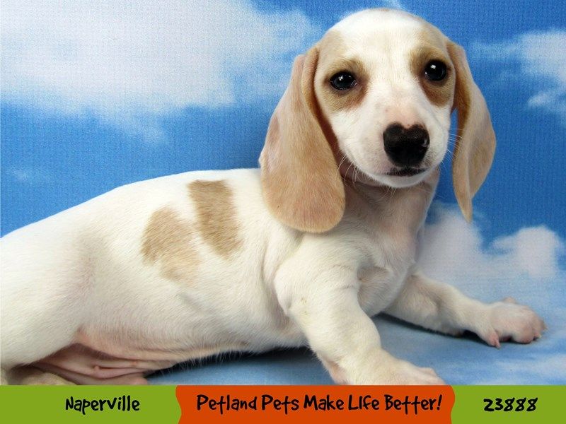 Dachshund-Male-White & Cream-2863006-Petland Aurora