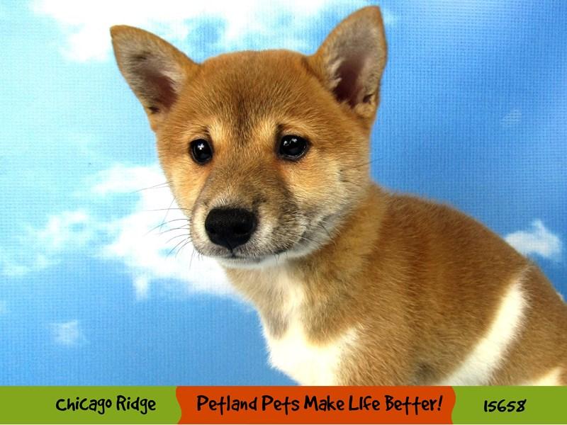 Shiba Inu-Female-Red-2857785-Petland Aurora