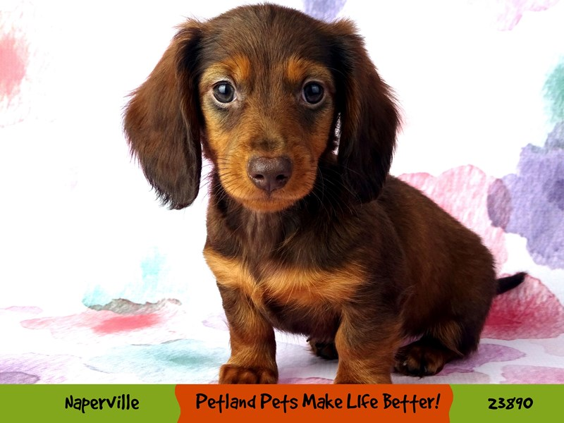 Dachshund-Female-Chocolate and Tan-2905037-Petland Aurora