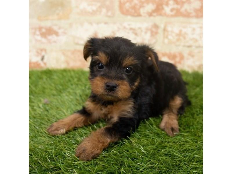 Yorkshire Terrier-Female-Black / Tan-2907198-Petland Aurora