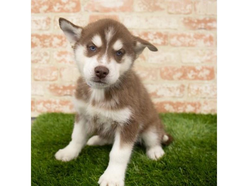 Siberian Husky-Female-Red / White-2907212-Petland Naperville