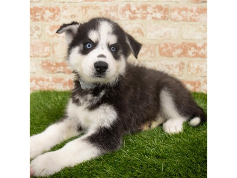 Siberian Husky-Male-Black / White-2907213-Petland Aurora