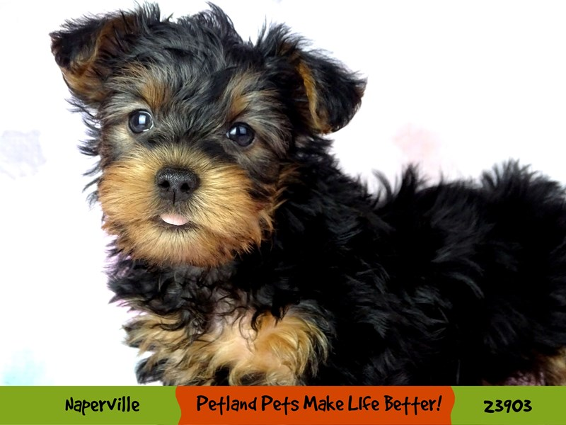 Yorkshire Terrier-Male-Black / Tan-2907199-Petland Aurora