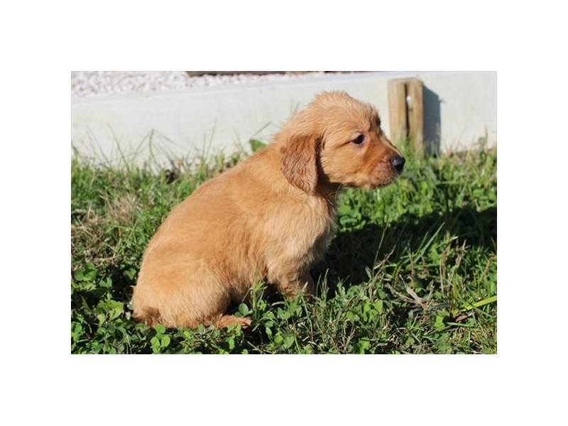 Golden Retriever-Male-Golden-2913578-Petland Aurora