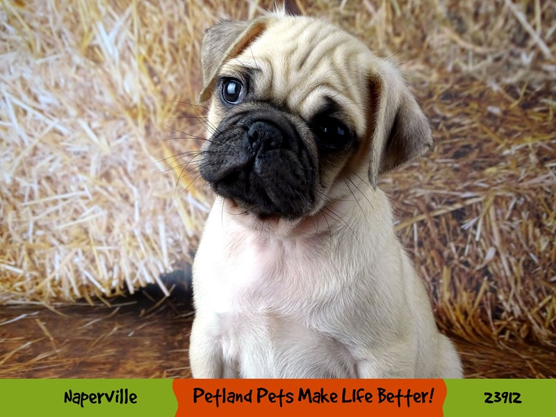 Pug-Male-Fawn-2913566-Petland Aurora