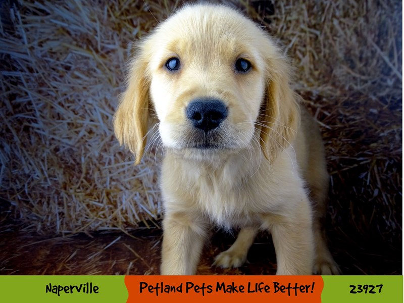 Golden Retriever-Male-Golden-2918781-Petland Naperville